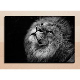 Лев на темном фоне